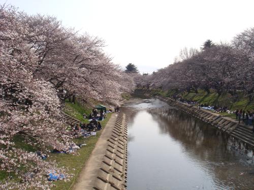各務原の桜祭り