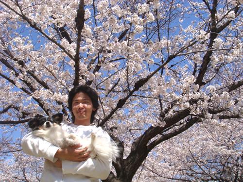 各務原市の桜祭り